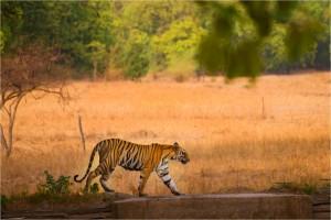 Bandhavgarh Tiger JPEG