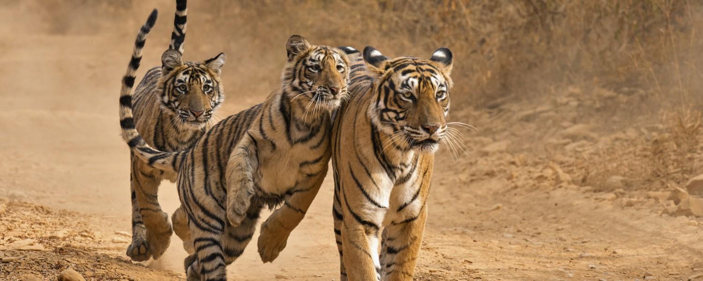 """<p style=""""text-align: left;"""">Unique wildlife tours of India</p>"""