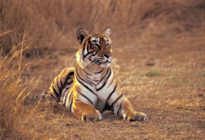 Wildlife_Tiger