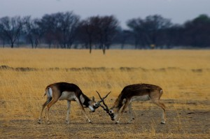 trip-wildlife-of-madhya-pradesh-day-11-kanha