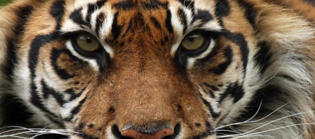 Wildlife_Tiger