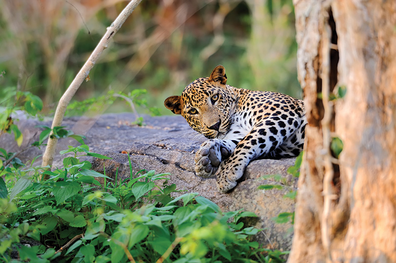 Leopard-Sri-Lanka-shutterstock_300401588-RF