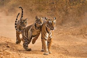 Tigers-India-Tourism