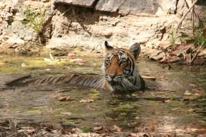 Tigers Ranthambore