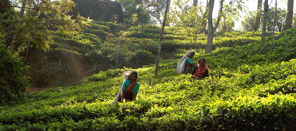 SRI LANKA - tea pickers