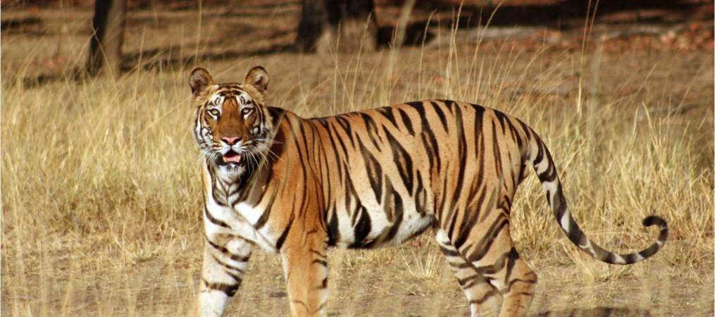 Samode Tiger Bandhavgarh