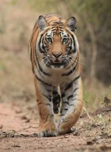 Tiger Bandavgar India